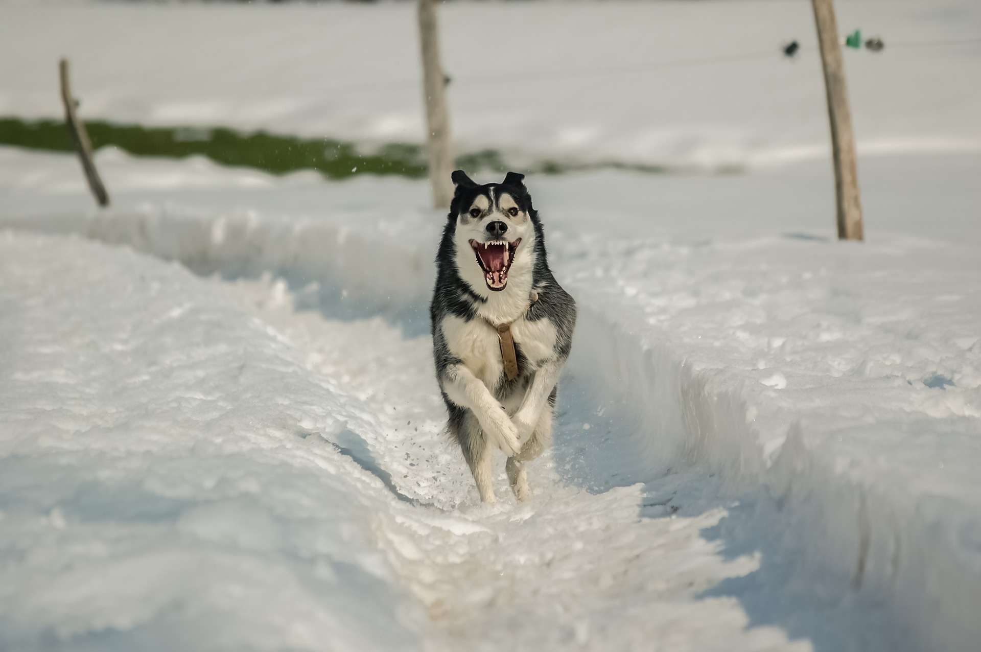 Husky running through the snow