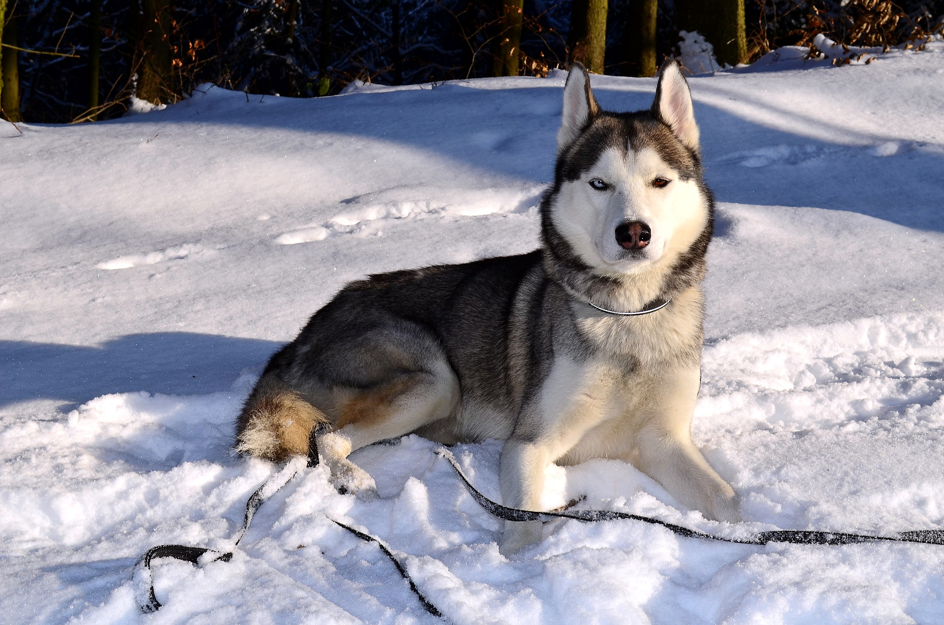 Husky lying in the snow