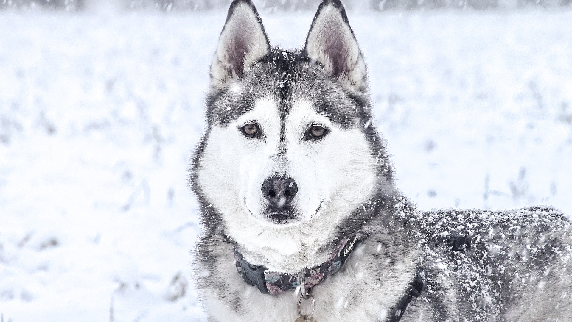 Husky in the snow whilst it's snowing