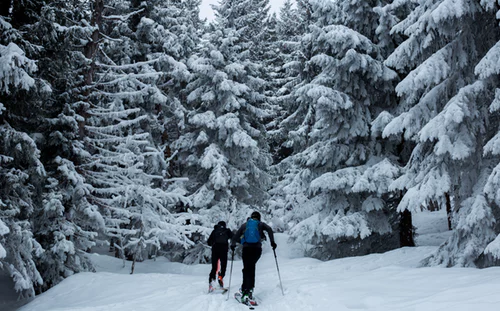 Two people back country skiing through trees